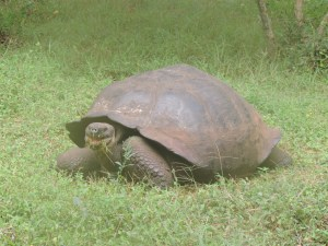 an approximately 150 year old male turtoise you can tell age by the faded lines on the shell