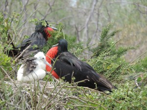 babies with their families and keen males nesting close together