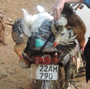 chicken check up