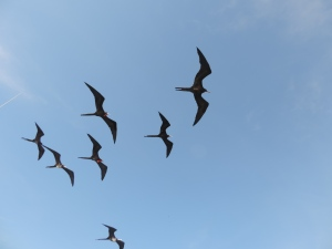frigate birds above our boat 1