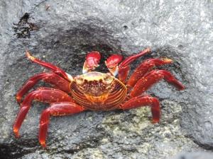 Santa Cruz Island crab